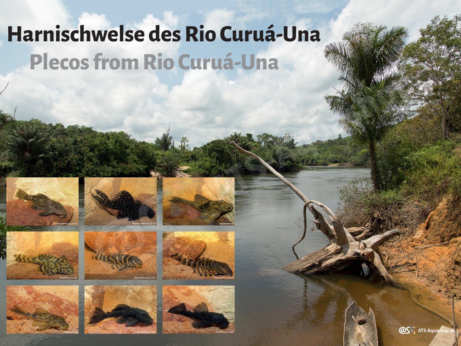 Posters: Plecos from Rio Curuá-Una (Andreas Tanke)
