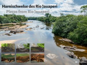 Posters: Plecos from Rio Jauperi (Andreas Tanke)