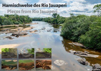 Poster: Harnischwelse des Rio Jauperi