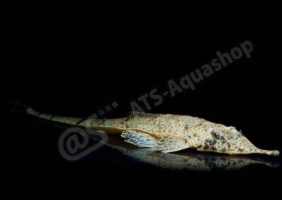 Acryl: Hemiodontichthys acipenserinus