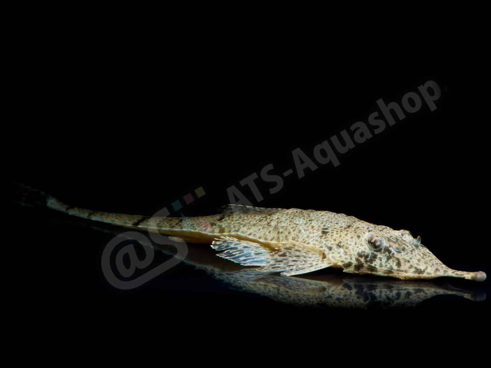 hemiodontichthys acipenserinus enrico richter 0298 7