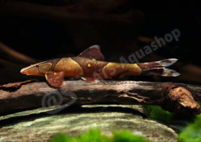 Acryl: Homaloptera parclitella