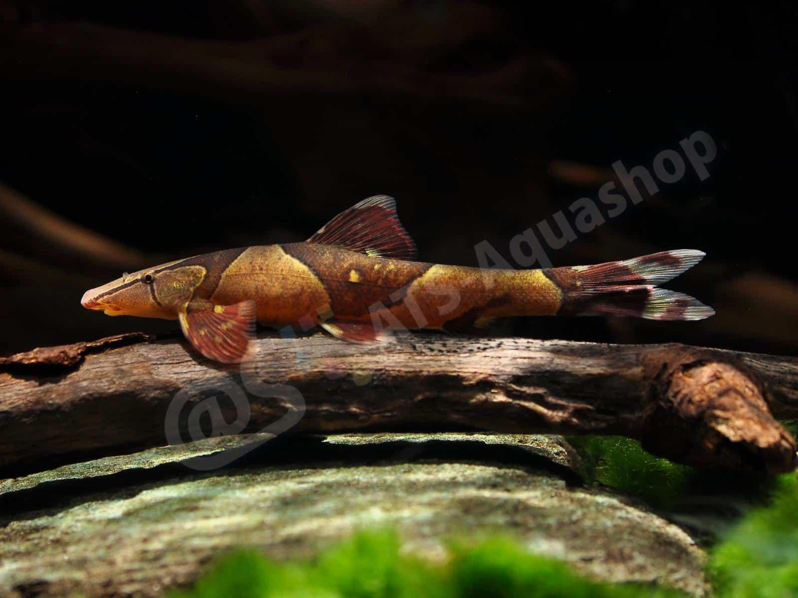 homaloptera parclitella enrico richter 0079 7