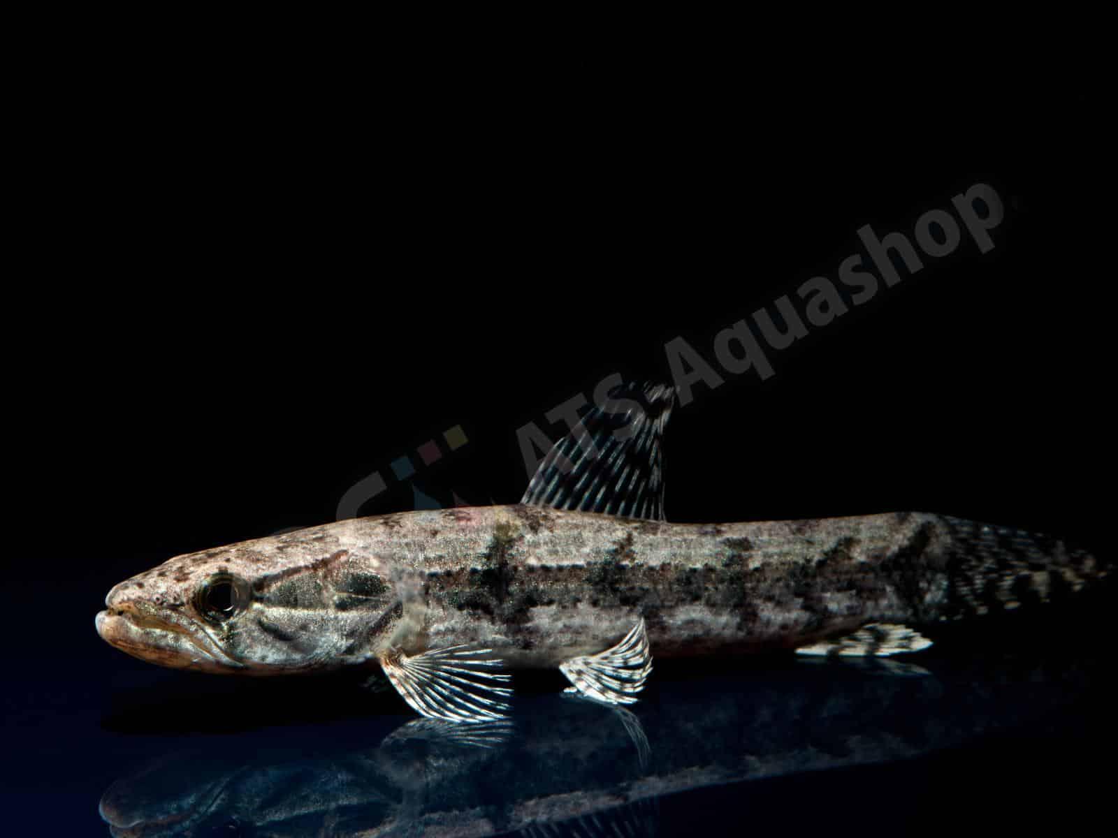hoplias malabaricus  venezuela  enrico richter 0290 8