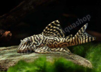 "Acryl: Hypancistrus sp. ""King Tiger"" (L 66)"