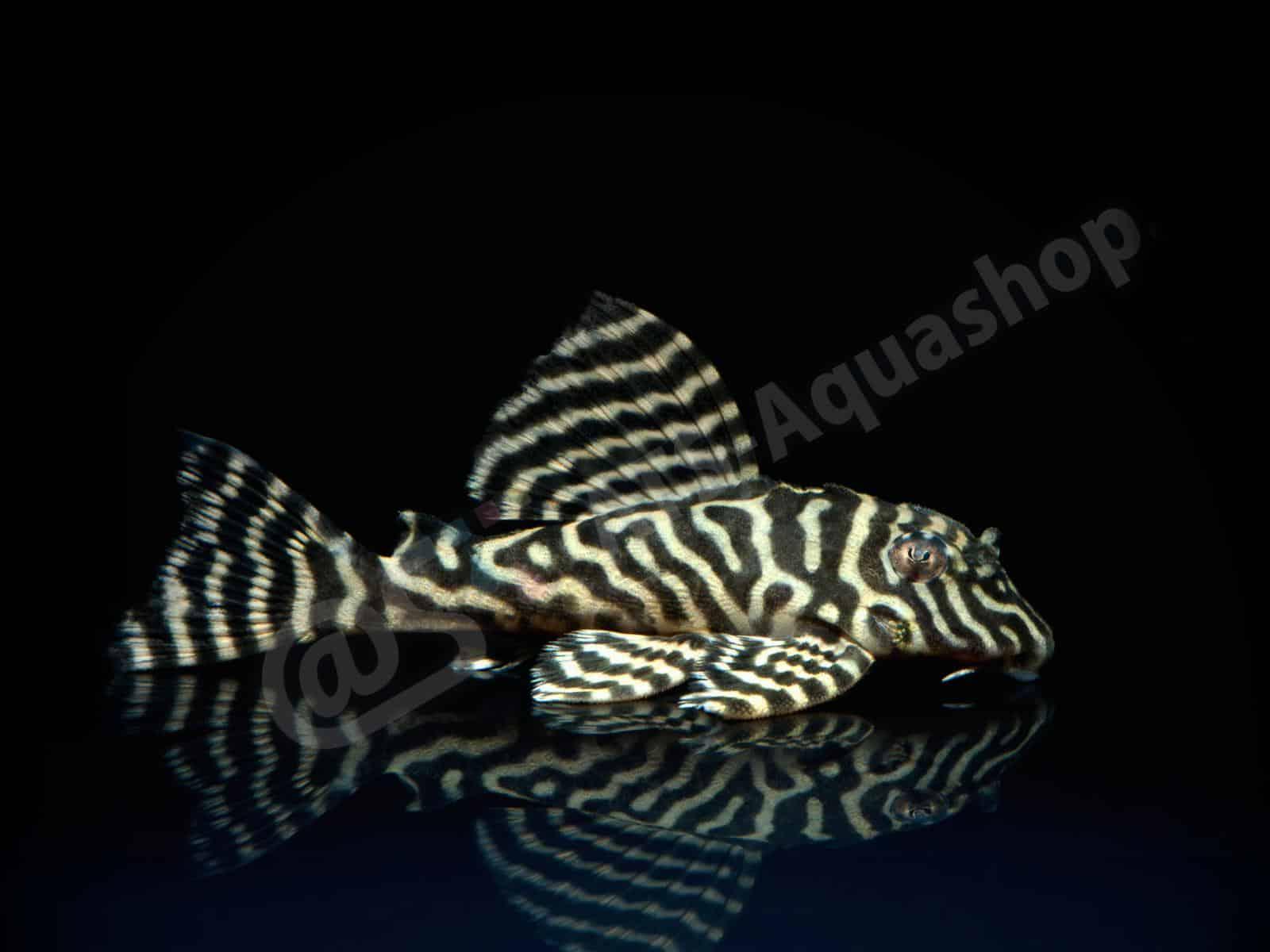 hypancistrus sp   king tiger  l 66 enrico richter 0255 6
