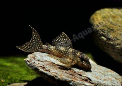 Acrylic: Hypancistrus sp. (L 136)