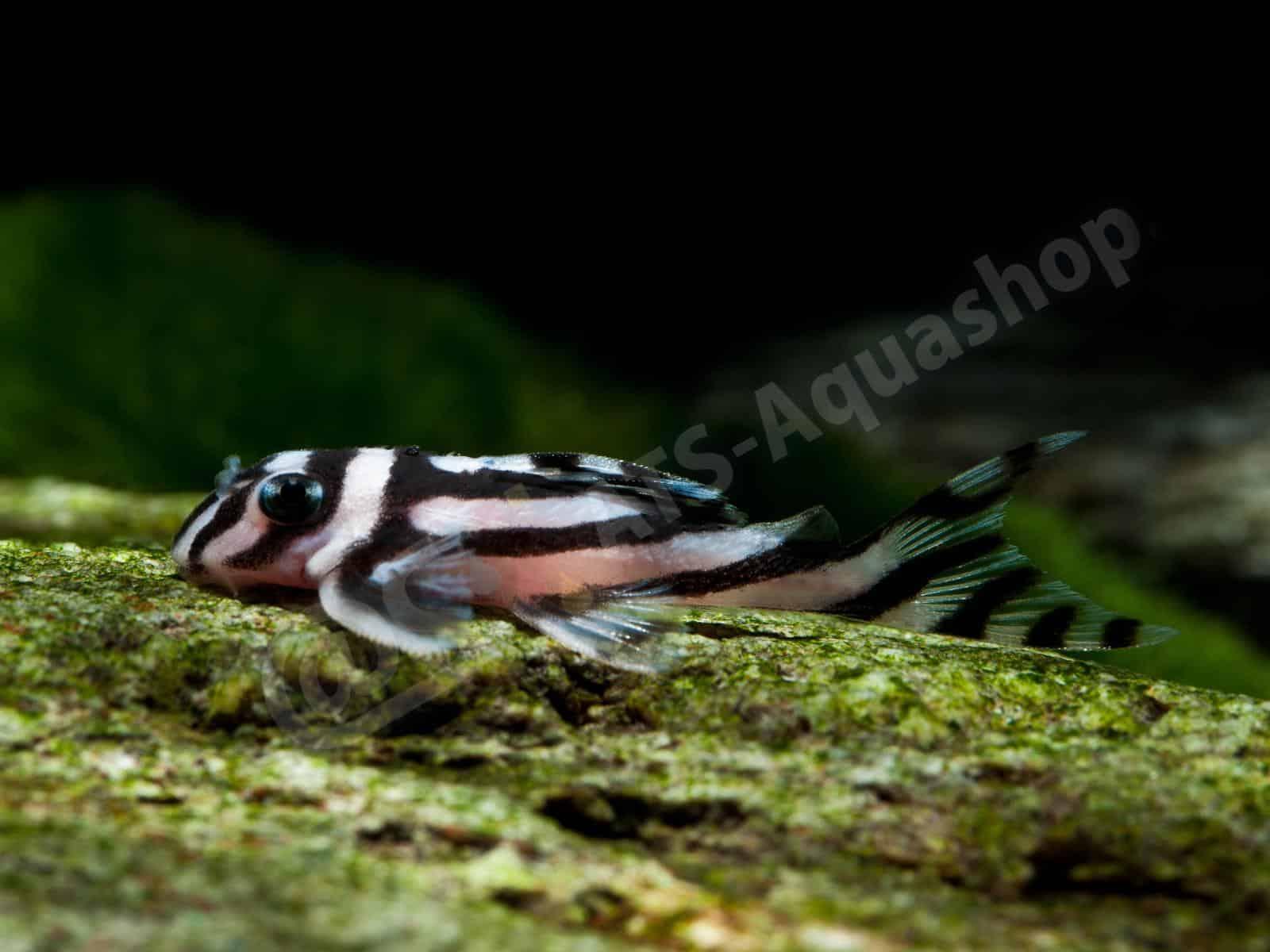 Acrylic: Hypancistrus zebra (L 46)