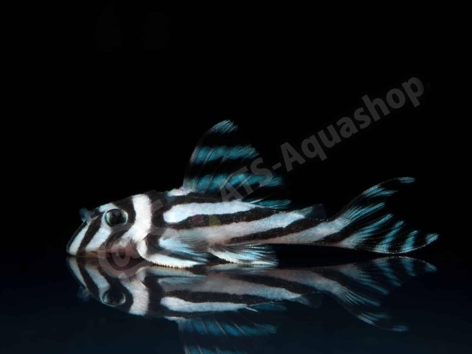 hypancistrus zebra l 46 enrico richter 0318 6