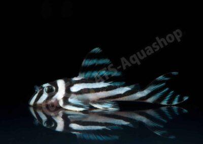 Leinwand: Hypancistrus zebra (L 46)