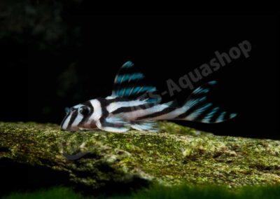 Aluminium: Hypancistrus zebra (L 46)
