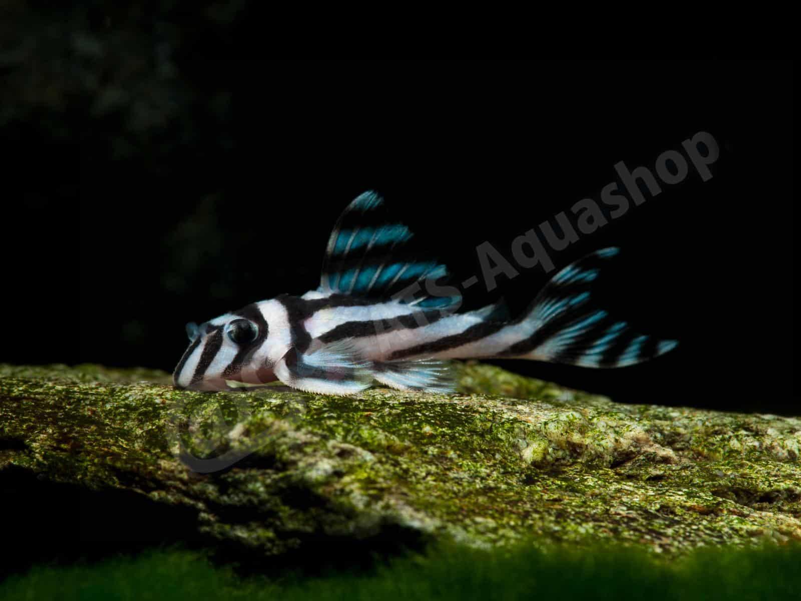 hypancistrus zebra l 46 enrico richter 0319 9