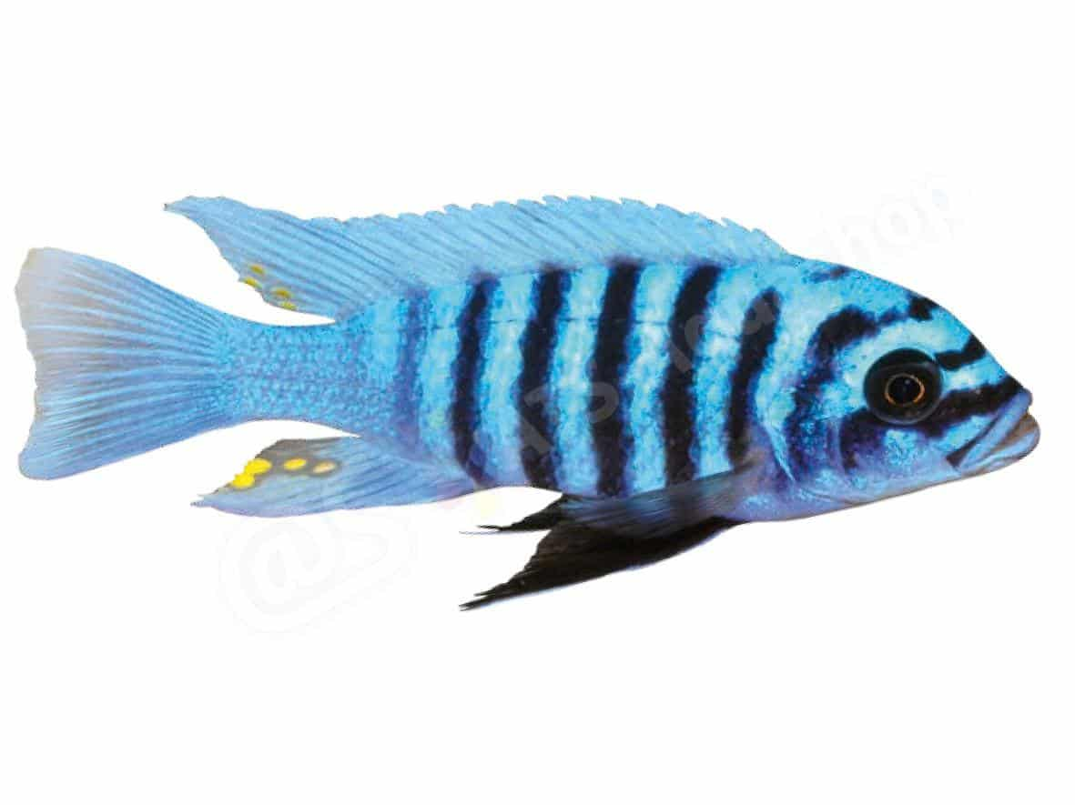 ingo seidel maylandia zebra  maisoni reef  011 3