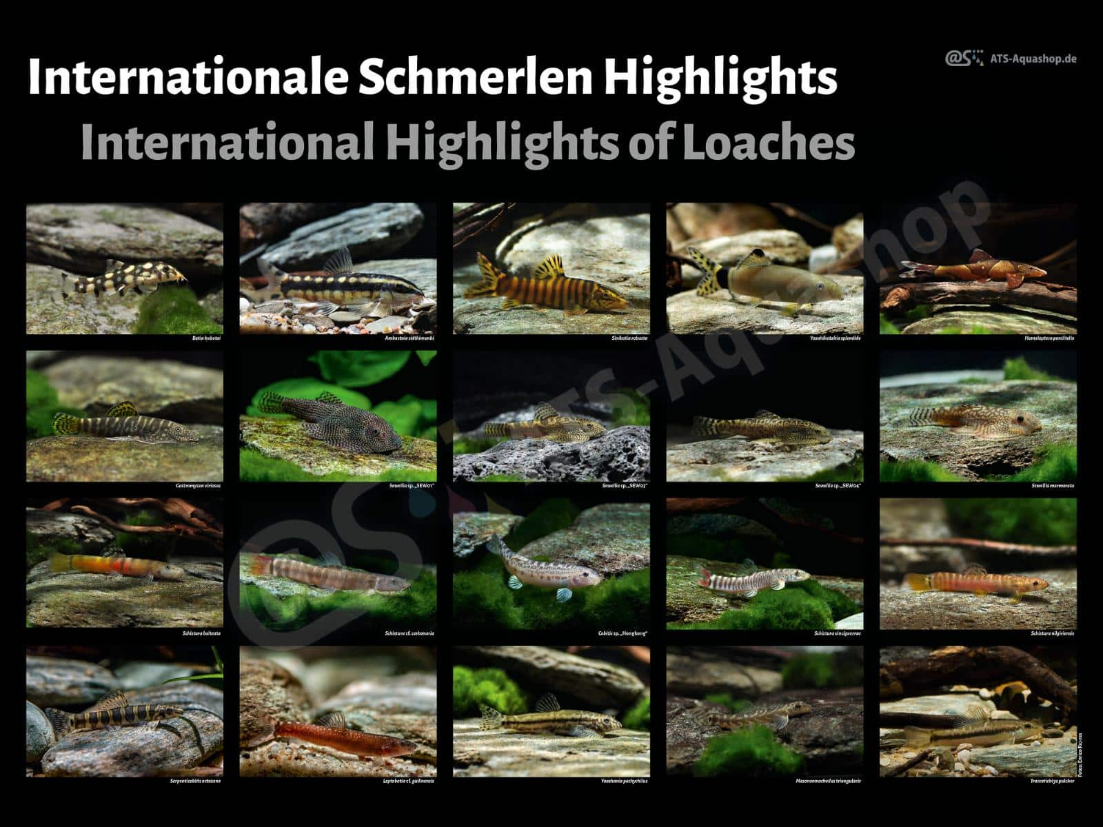 Posters: Internationale Highlights of Loaches (Enrico Richter)