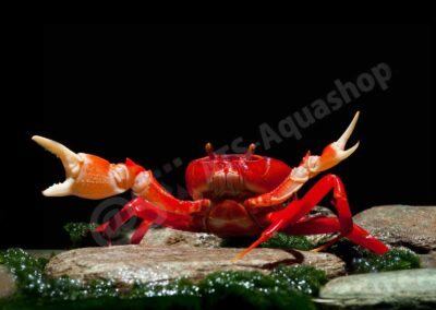 Aluminium: Krabbe Rot Vietnam