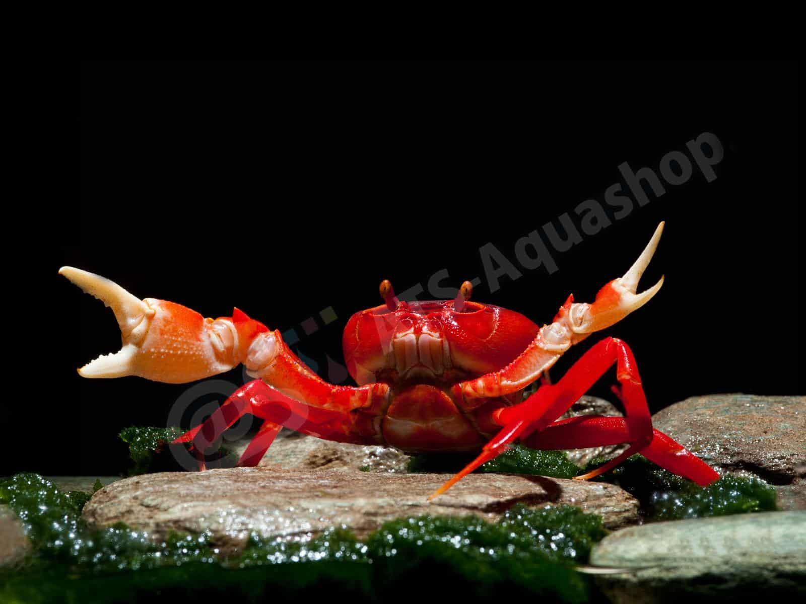 krabbe rot vietnam enrico richter 0252 8