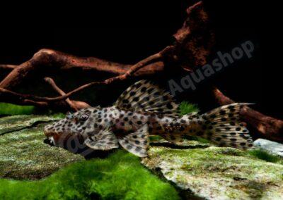 Acryl: Leporacanthicus heterodon