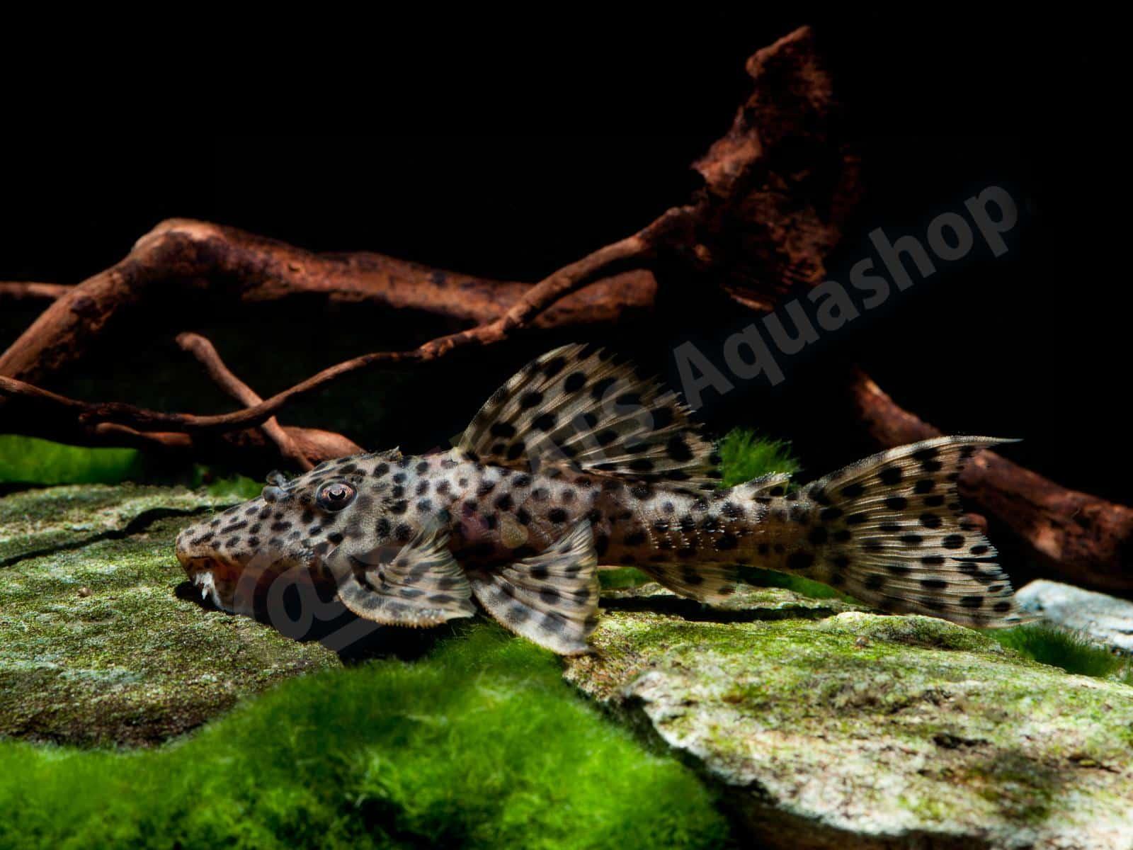 leporacanthicus heterodon enrico richter 0183 6