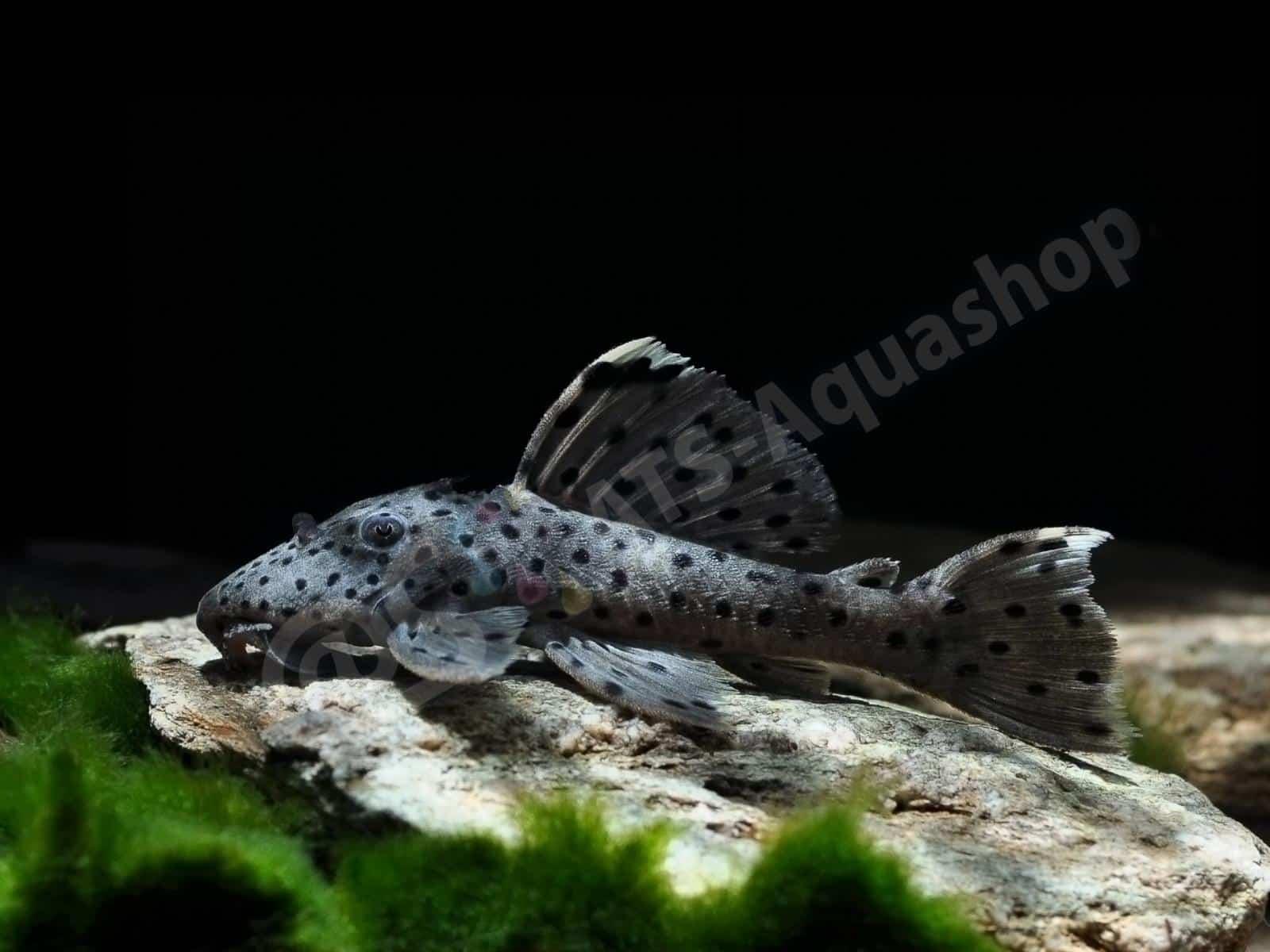 leporacanthicus joselimai l 264 enrico richter 0085 6