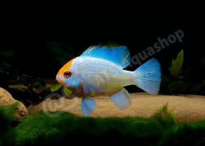 """Acryl: Mikrogeophagus ramirezi """"Blue Punk"""""""