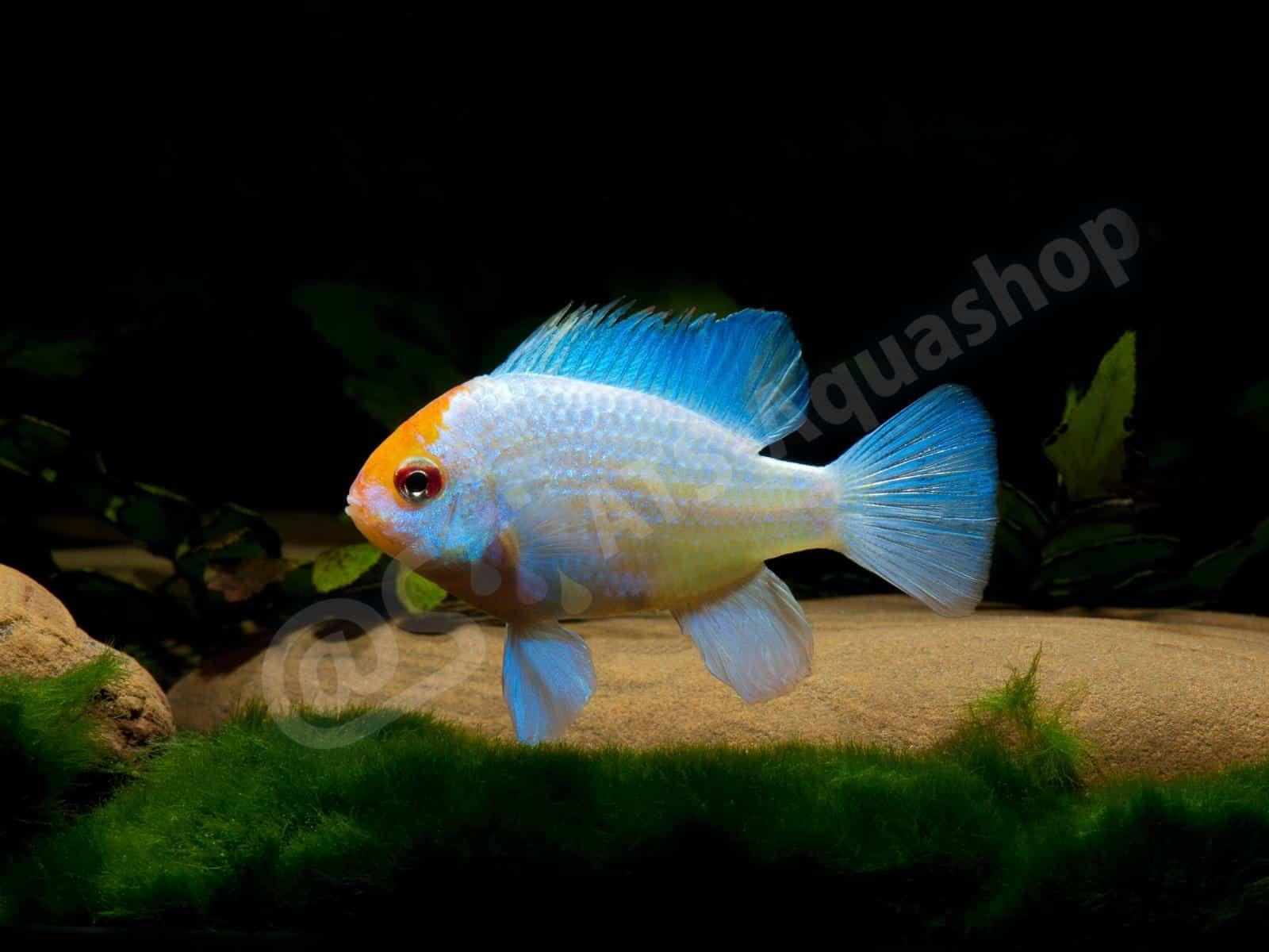 mikrogeophagus ramirezi blue punk enrico richter 0328 8