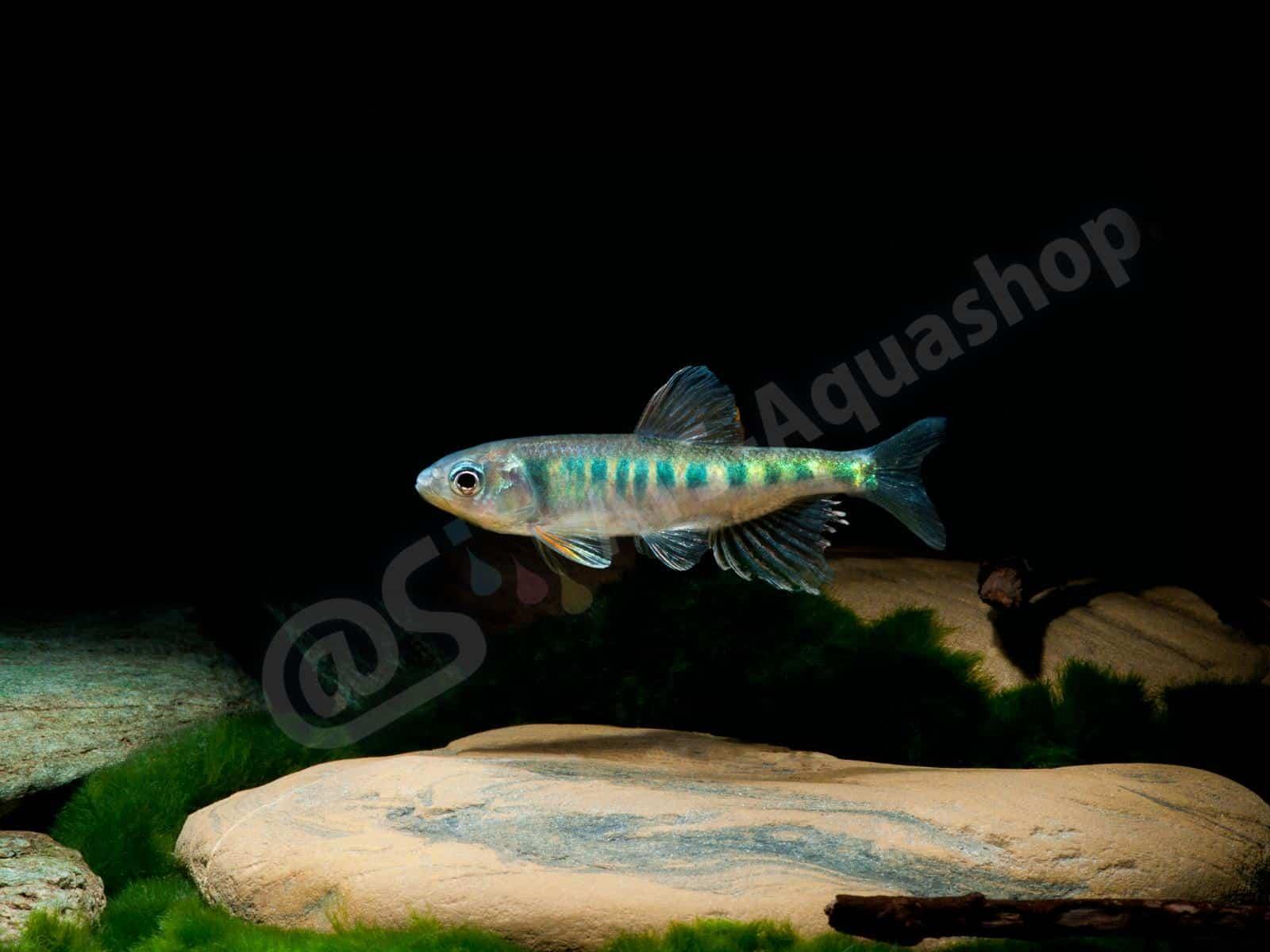 opsarius pulchellus enrico richter 0324 6