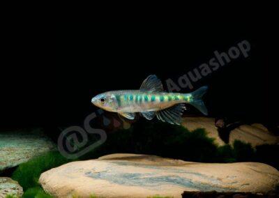 Aluminium: Opsarius pulchellus