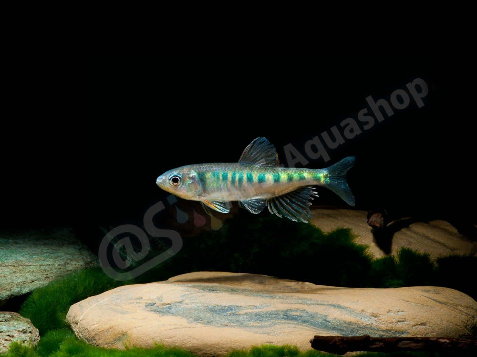 opsarius pulchellus enrico richter 0324 7