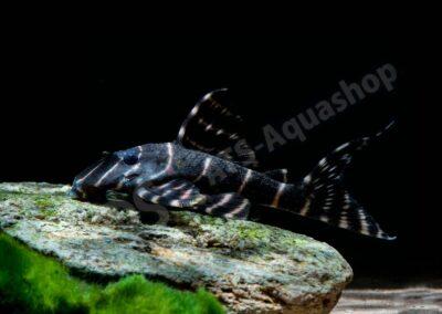 Acryl: Panaqolus albivermis (L 204)
