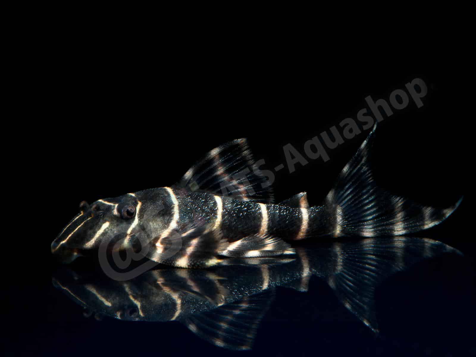 panaqolus albivermis l 204 enrico richter 0226 7