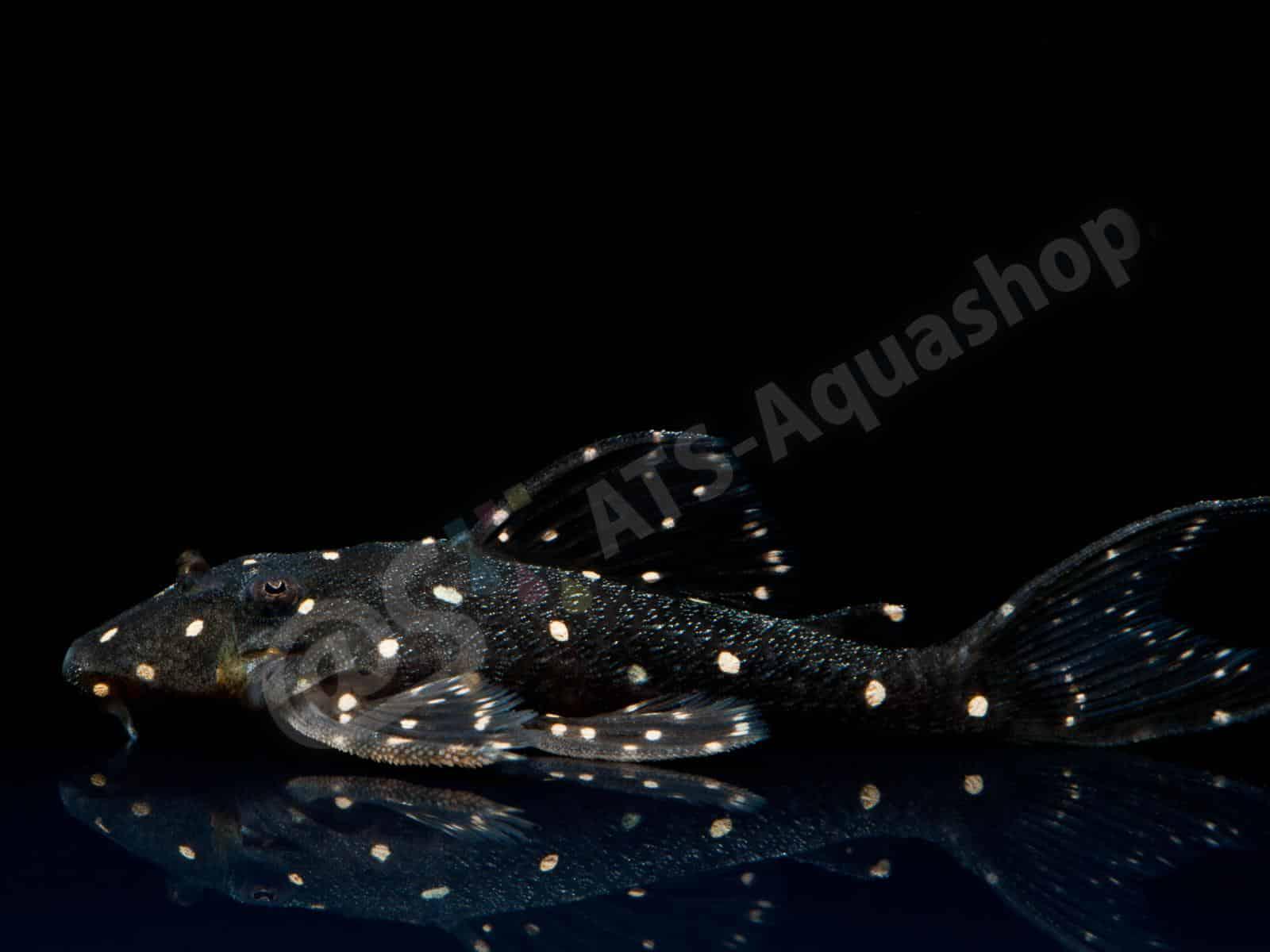 panaqolus albomaculatus lda 31 enrico richter 0281 8