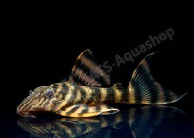 Acryl: Panaqolus tankei (L 398)