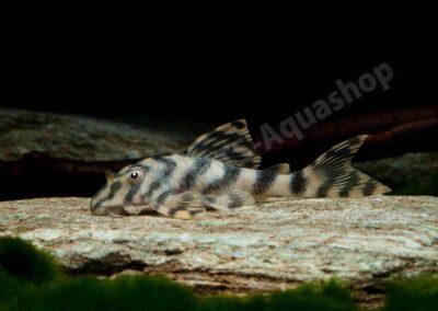 Leinwand: Peckoltia cf. vittata (L 15)