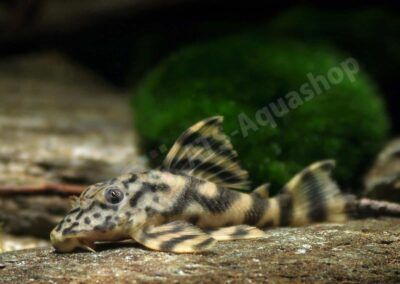 Acryl: Peckoltia lineola (L 202)