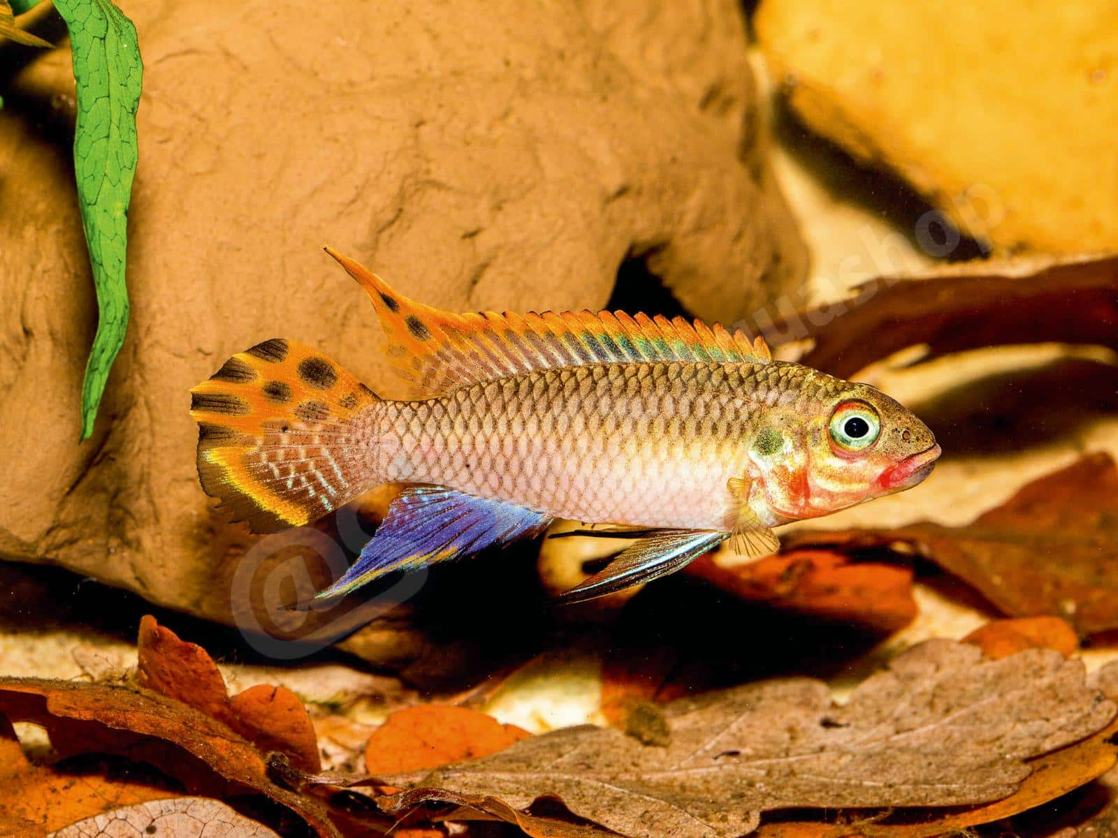pelvicachromis taeniatus  nigeria red  andreas tanke 0043 6