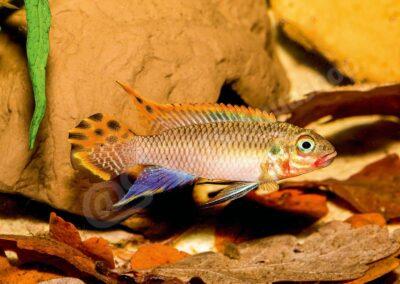 "Leinwand: Pelvicachromis taeniatus ""Nigeria red"""