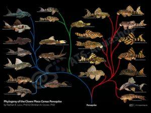 Poster: Phylogeny of the Clown Pleco Genus Panaqolus (ATS Aquashop (div.))
