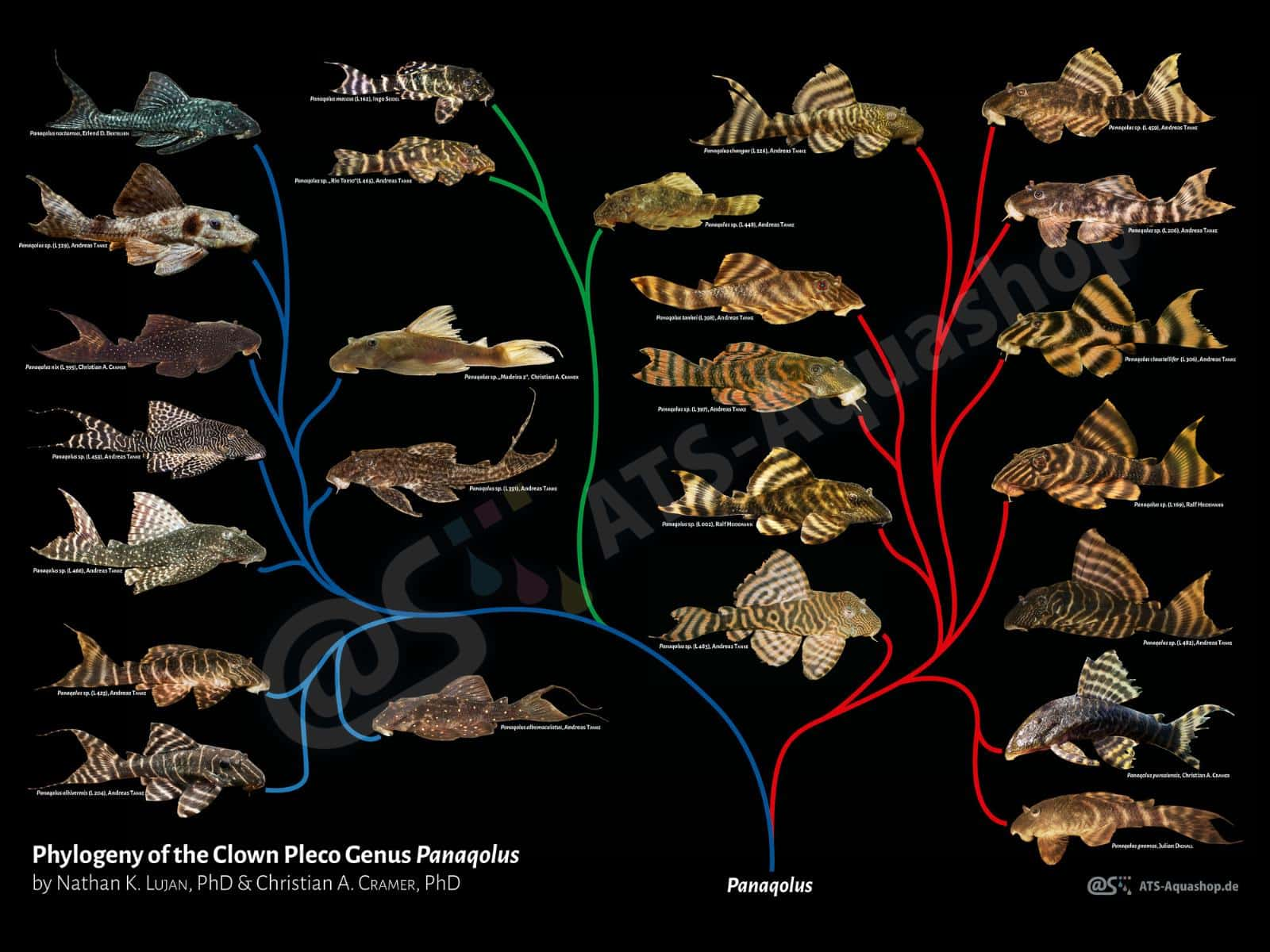 Poster: Phylogeny of the Clown Pleco Genus Panaqolus (ATS Aquashop (div.))