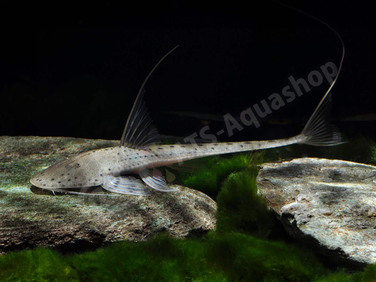 planiloricaria cryptodon enrico richter 0074 6