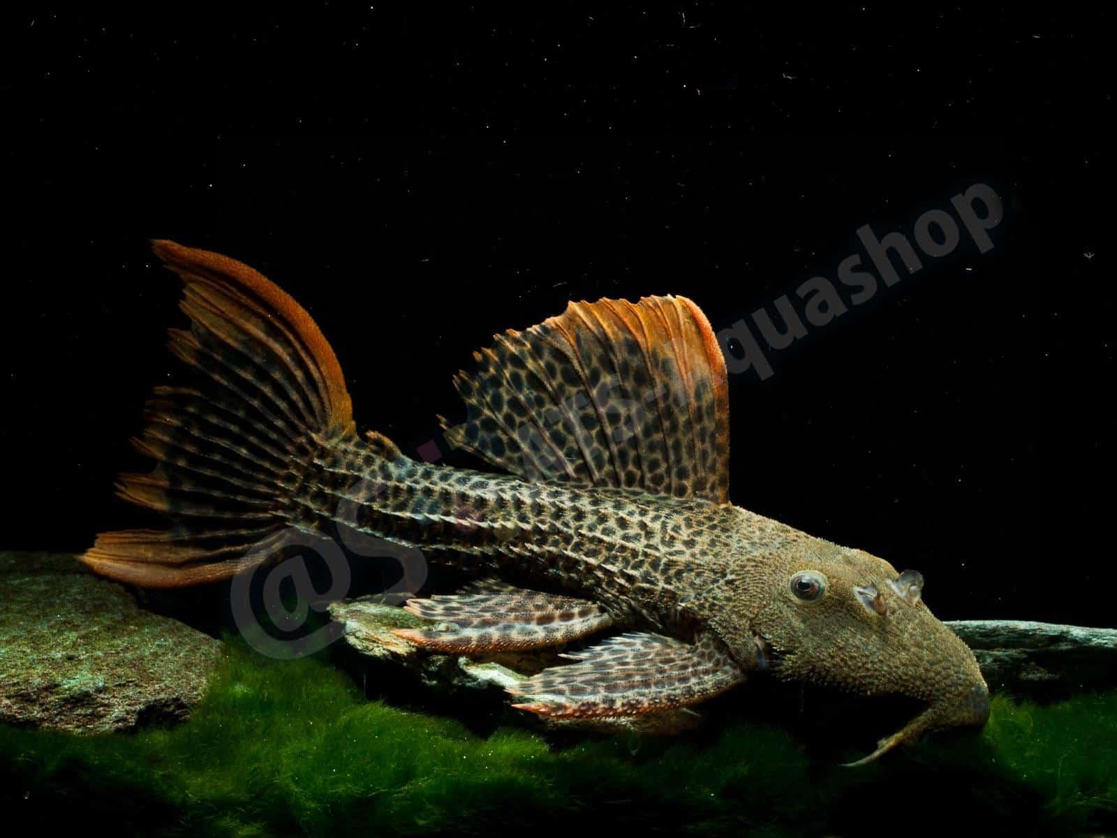 pseudacanthicus leopardus enrico richter 0119 7
