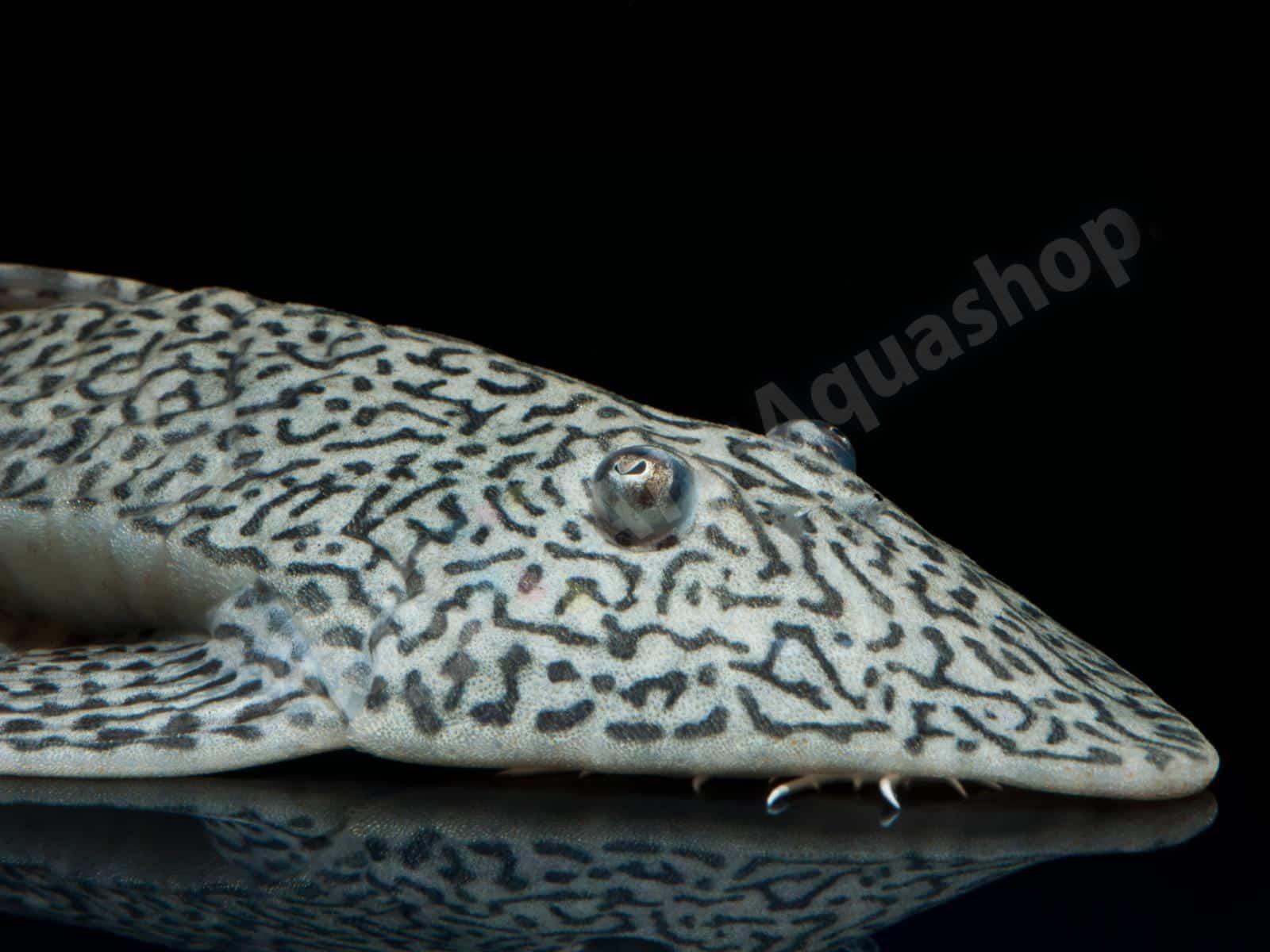 pseudohemiodon apithanos enrico richter 0258 9