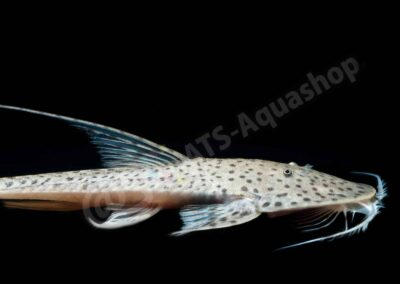Acryl: Pseudohemiodon sp.