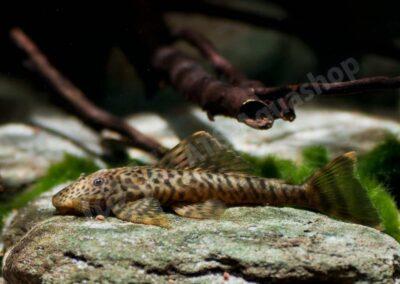 Acryl: Pseudolithoxus dumus (L 244)