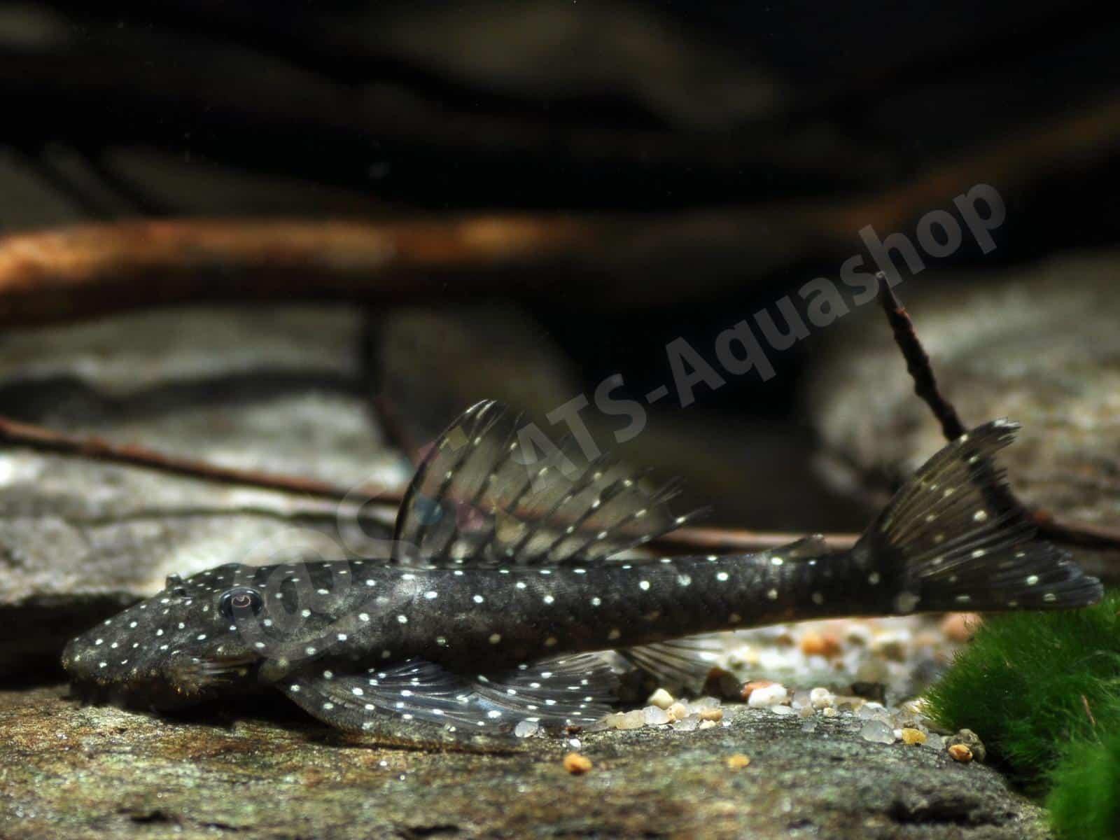 pseudolithoxus nicoi enrico richter 0012 6