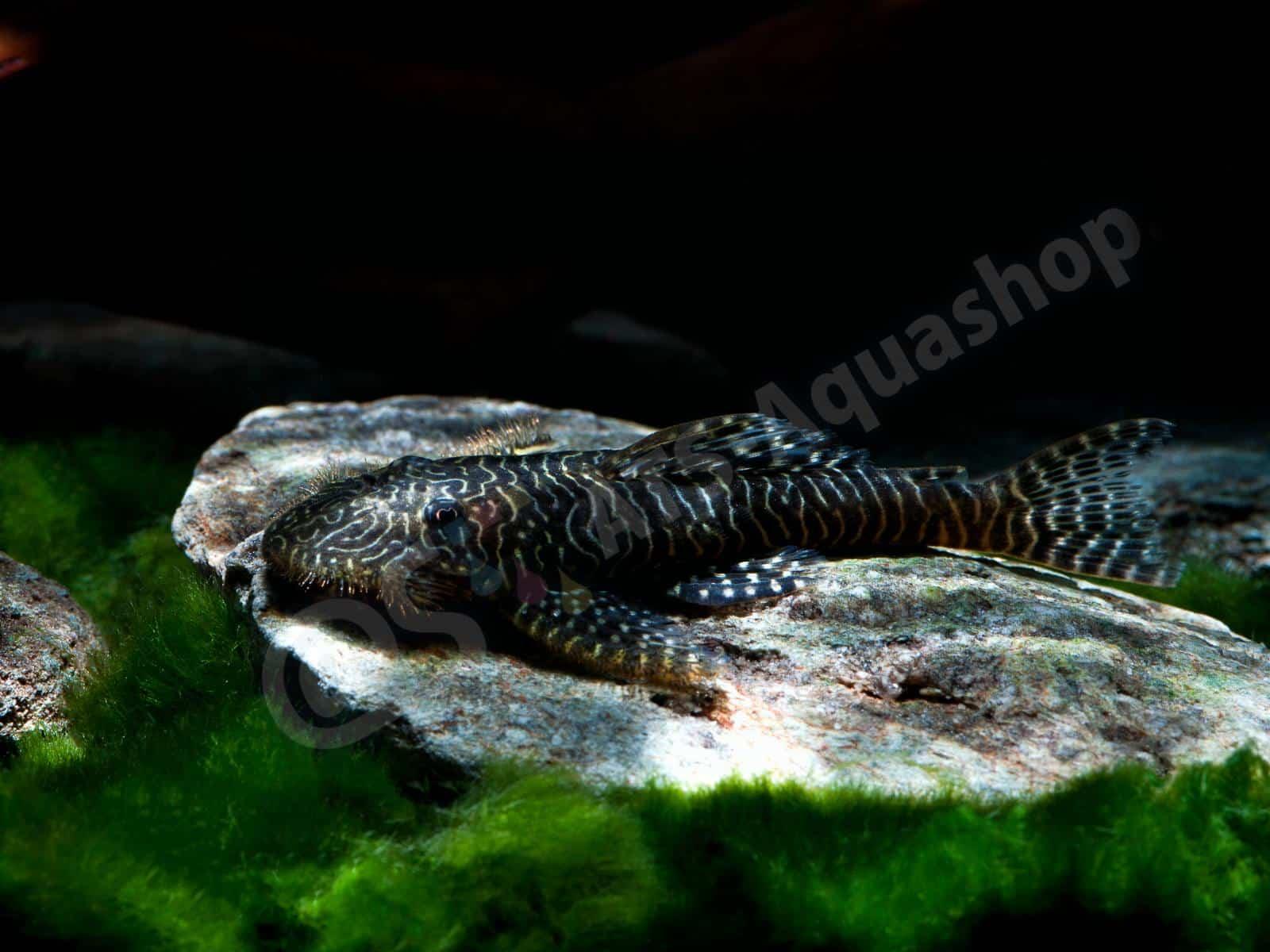 pseudolithoxus tigris l 257 enrico richter 0096 8