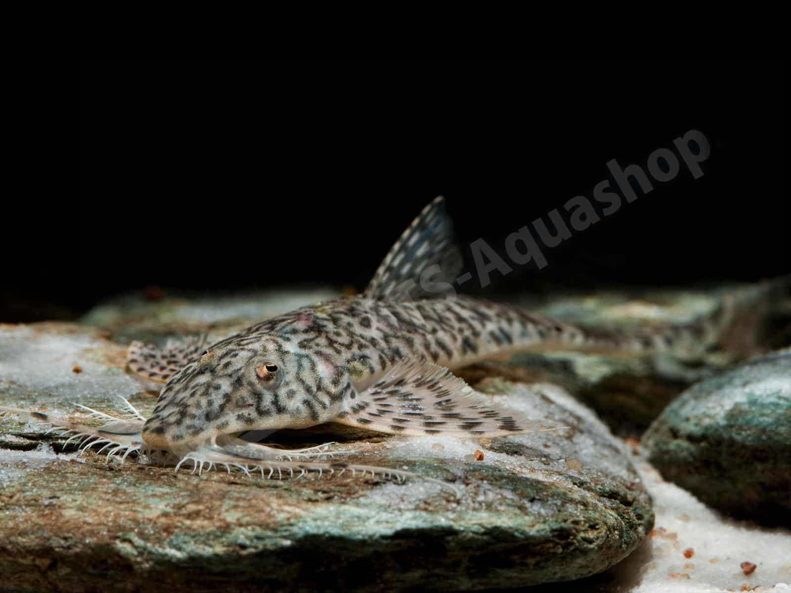 rhadinoloricaria sp   caqueta  enrico richter 0189 8