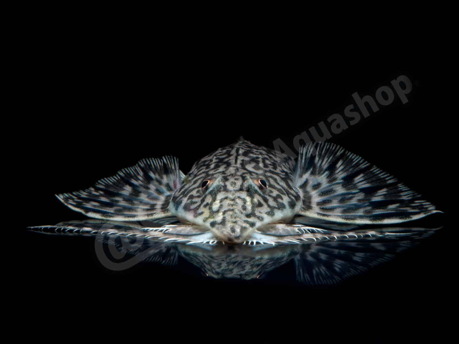 rhadinoloricaria sp   caqueta  enrico richter 0259 6