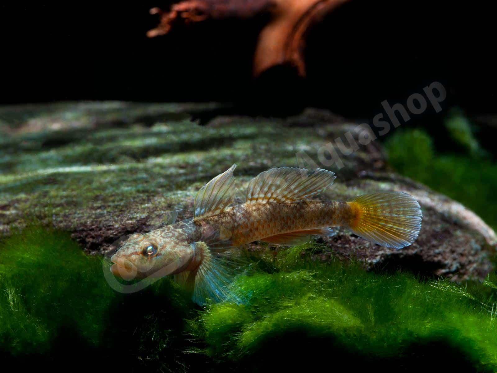 rhinogobius sp   hong kong  enrico richter 0097 6