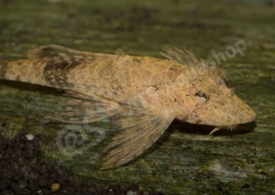 "Acryl: Rineloricaria sp. ""Madeira"""