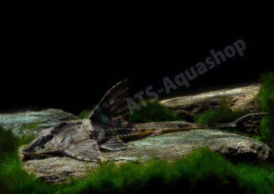 """Acryl: Rineloricaria sp. """"Rio Atabapo"""""""